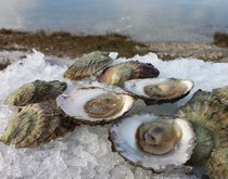 European Flat Oysters