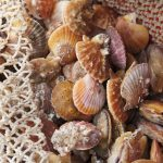 "Rarest seafood product on the market"": Puget Sound pink scallops make comeback"